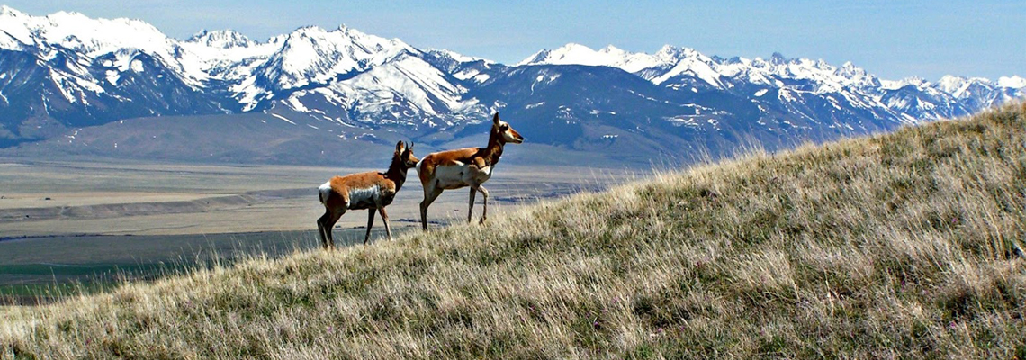 Antelope in the Madison Valley Ennis, Montana